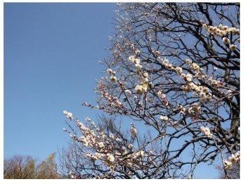 2011年1月神代植物公園の白梅s1.jpg