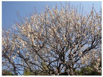 2011年1月神代植物公園の白梅s2.jpg