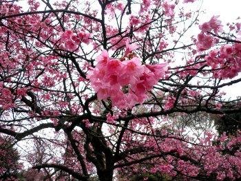 寒緋桜y.j.JPG