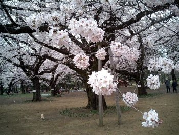 小金井公園さくら 018s.jpg